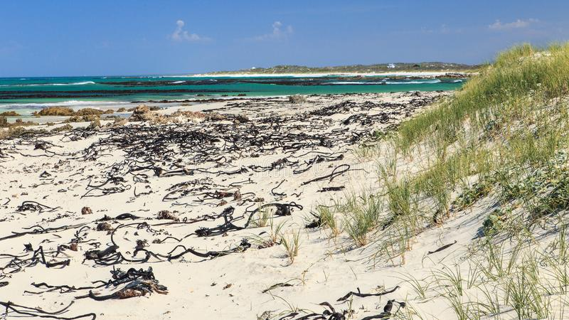 Kelp on the beach - Pearly beach - South Africa. Pearly Beach is a remote seaside hamlet in Overberg District Municipality in the Western Cape Province of South royalty free stock photo