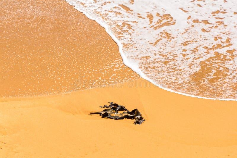 Kelp on the beach - Peterborough stock images