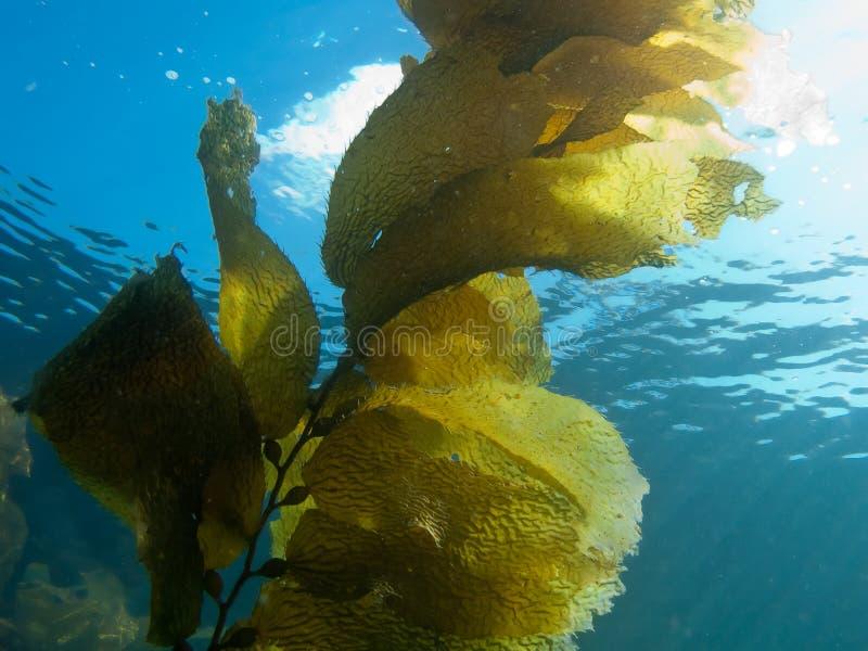Kelp contro luce solare fotografia stock