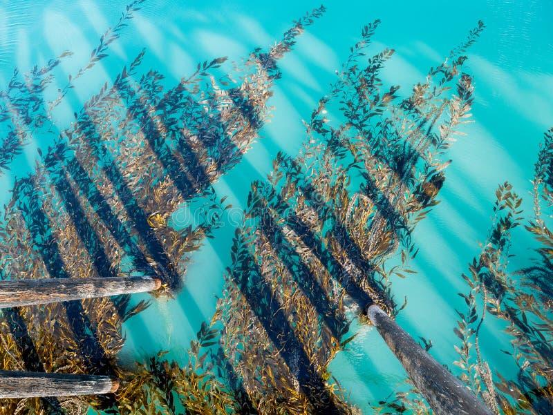 Kelp, das dem Pier anhaftet lizenzfreie stockbilder