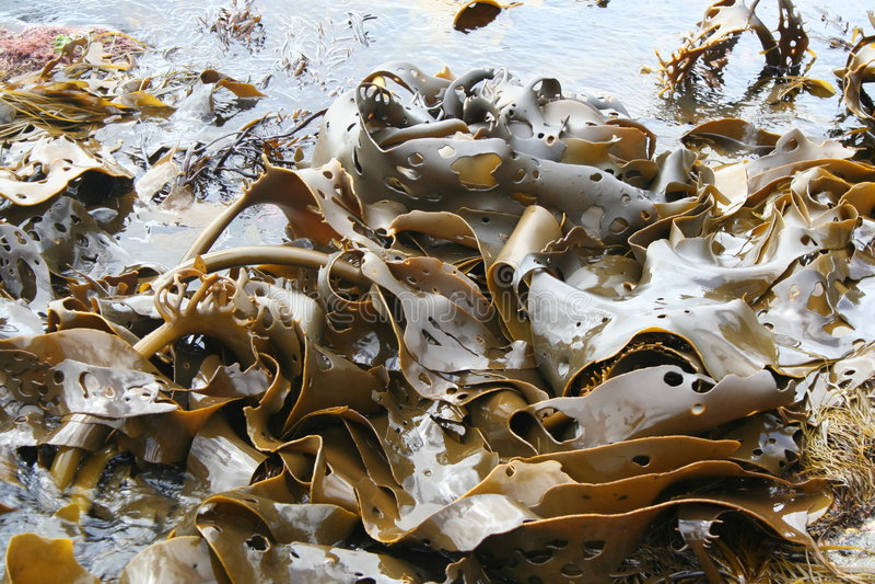Kelp dell'oceano fotografia stock libera da diritti