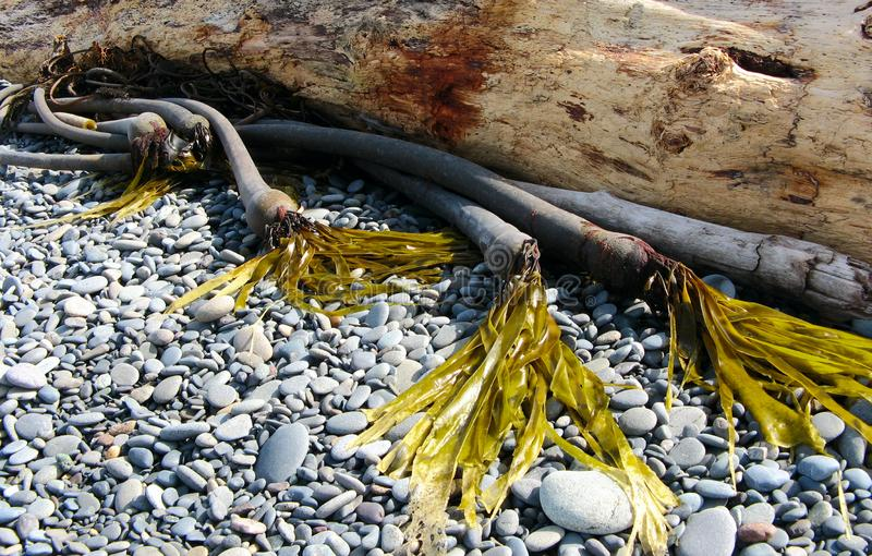 Kelp And Driftwood stock images