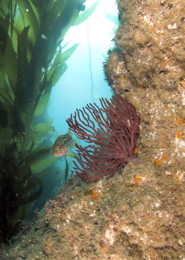 kelp för ö för fisk för anacapaKalifornien korall royaltyfri fotografi