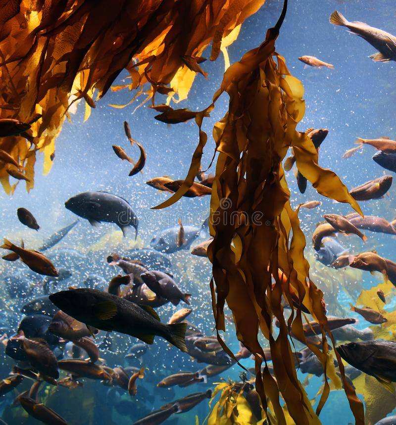 Free Kelp Forest And Fish Royalty Free Stock Images - 146150729