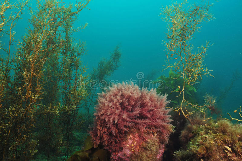 Kelp forest stock images