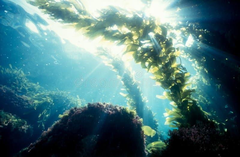 Kelp forest sunshine royalty free stock image