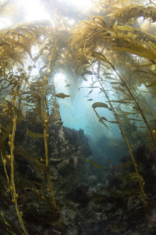 Kelp Forrest στο νησί γλάρων στοκ εικόνα με δικαίωμα ελεύθερης χρήσης