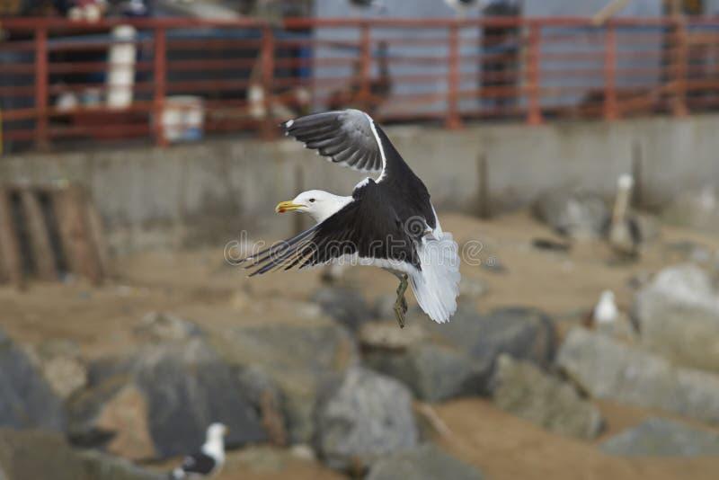 Kelp frajer przy Rybim rynkiem w Valparaiso, Chile obrazy royalty free