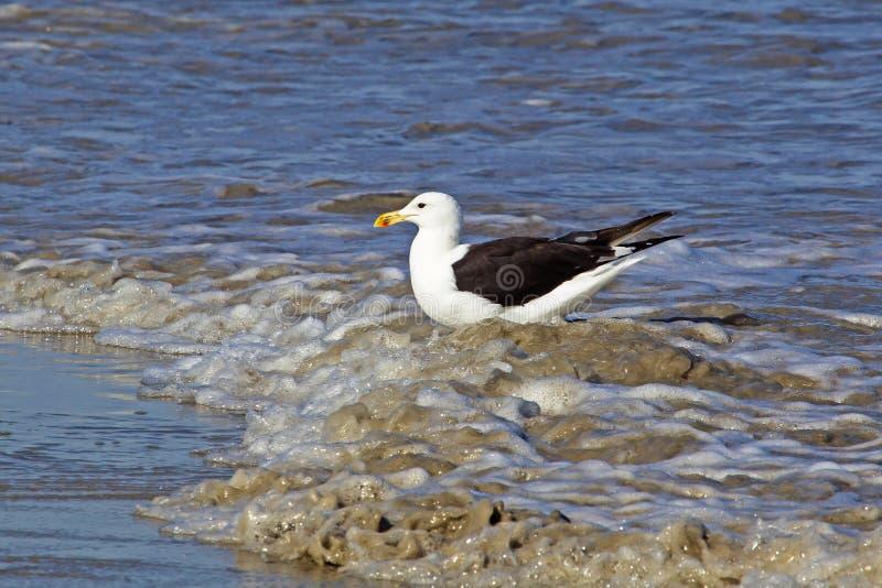 Kelp frajera pozycja w morzu zdjęcie royalty free