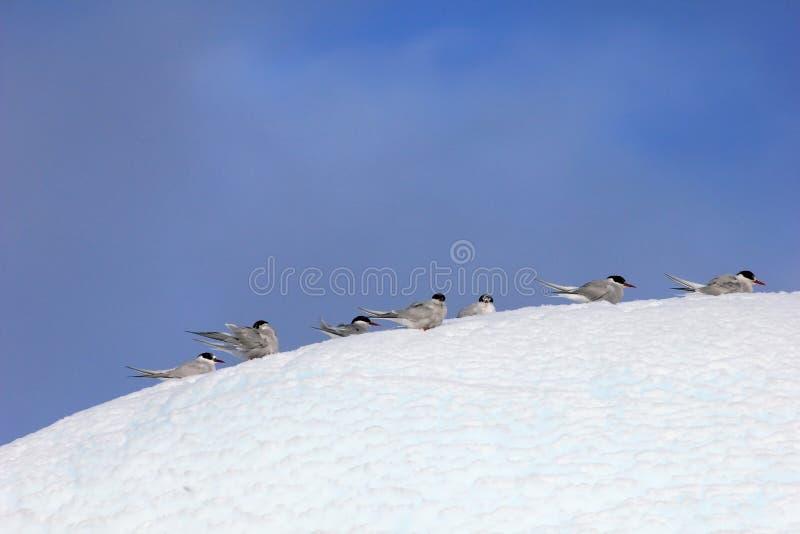 Kelp frajery, Arktyczni Terns i, Antarktyczny półwysep zdjęcia stock