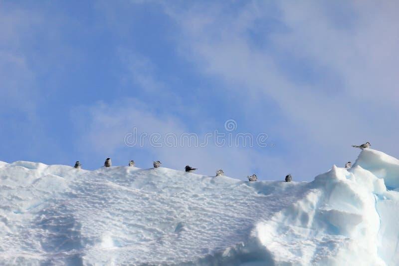 Kelp frajery, Arktyczni Terns i, Antarktyczny półwysep obrazy stock