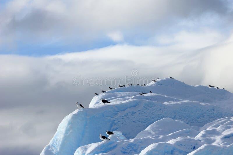 Kelp frajery, Arktyczni Terns i, Antarktyczny półwysep zdjęcie stock