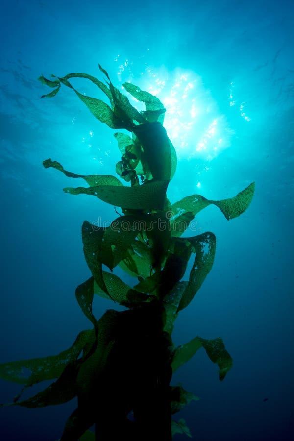 Kelp gigante fotografie stock libere da diritti