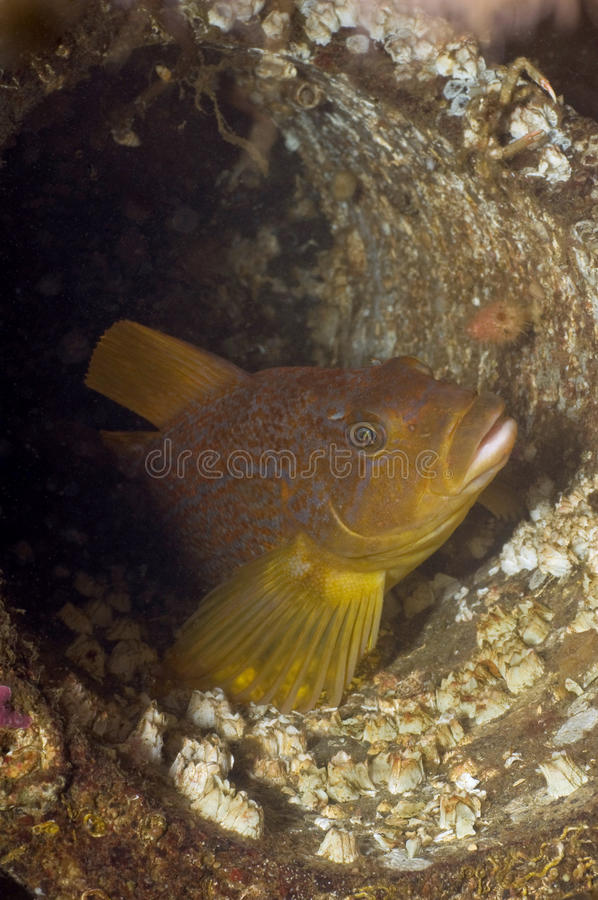 Kelp Greenling fotografia stock