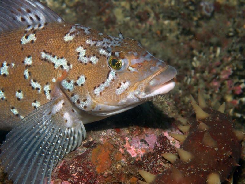 Kelp Greenling (Hexagrammos decagrammus) stockbilder
