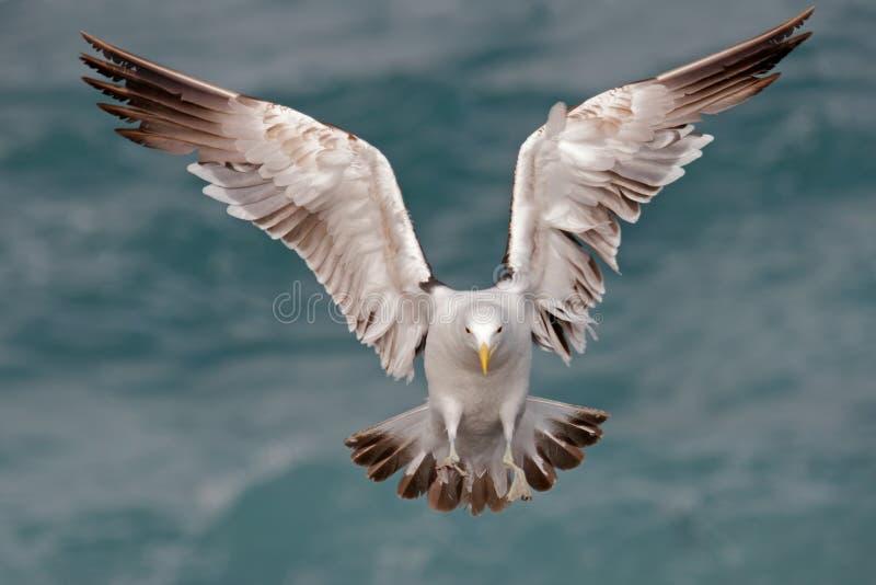 Kelp gull 07 royalty free stock images