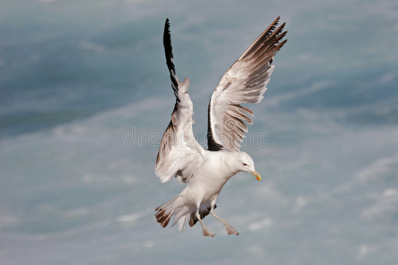 Download Kelp gull stock image. Image of beach, flight, ocean, outstretched - 1398053