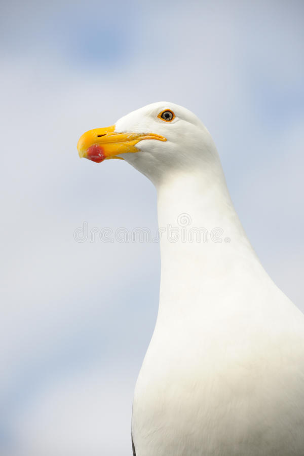 Download Kelp Gull stock image. Image of close, feathers, bird - 24681551