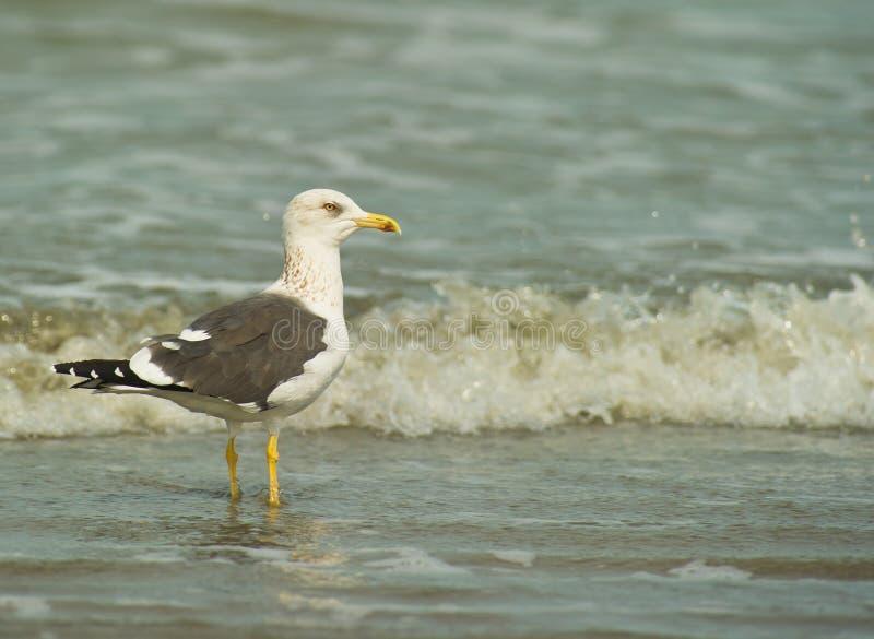 A Kelp Gull at the beach stock photo