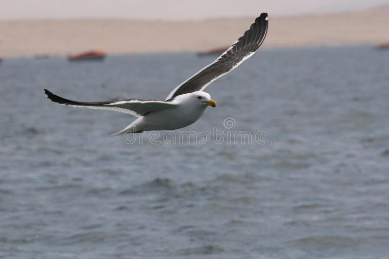 Adult kelp gull flying over the ocean royalty free stock photography