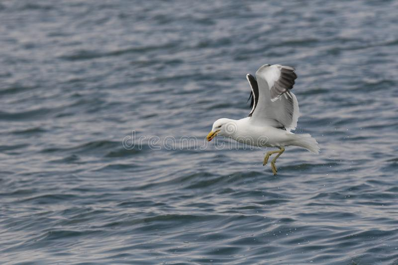 Adult kelp gull flying over the ocean stock photos