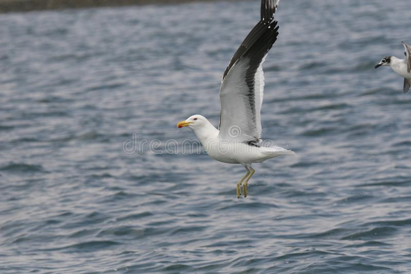 Adult kelp gull landing on the ocean stock photo