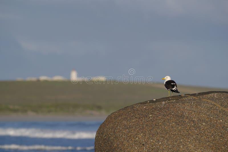 Kelp gull stock photos