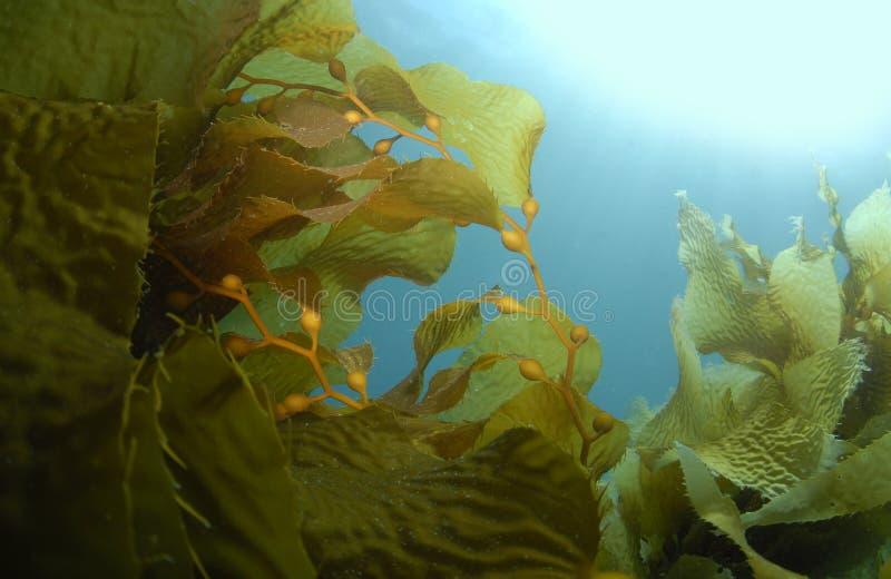 Kelp-Hintergrund lizenzfreie stockbilder