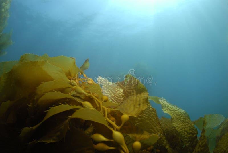 Kelp-Hintergrund stockfoto
