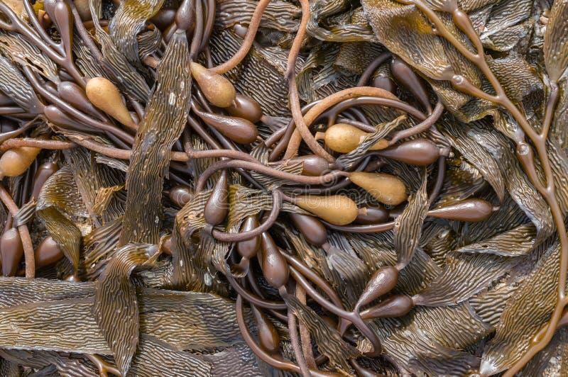 Kelp on the beach stock photography