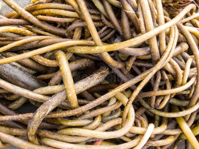 Kelp op het strand royalty-vrije stock afbeelding