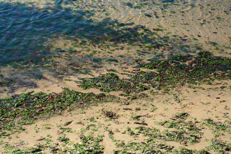 Kelp op het strand royalty-vrije stock foto's