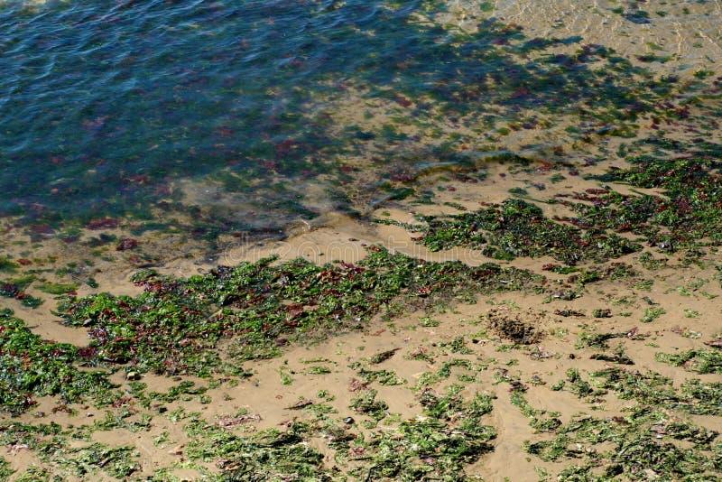 Kelp op het strand stock afbeeldingen