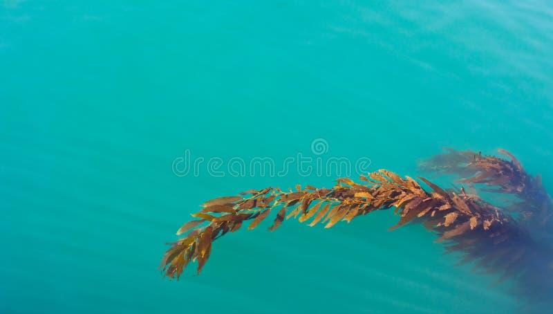 Kelp pacifico immagine stock libera da diritti