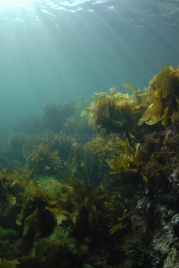 Kelp Rays Hintergrund lizenzfreie stockfotos