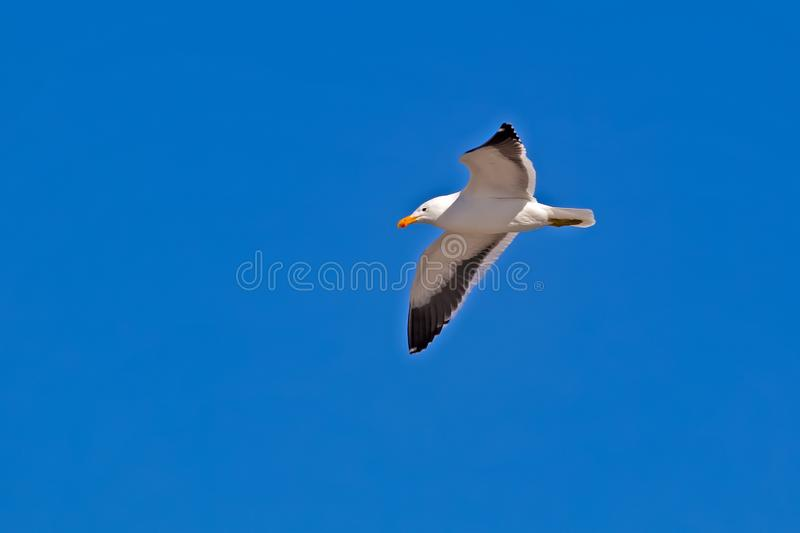 Kelp seagull flying in sky royalty free stock photos