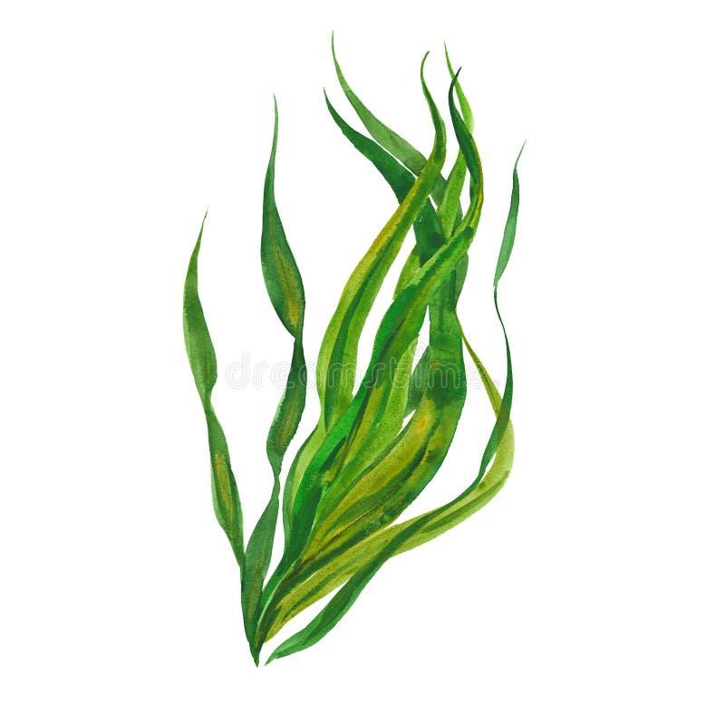 Watercolor kelp seaweed. Kelp seaweed, watercolor illustration on white background royalty free illustration