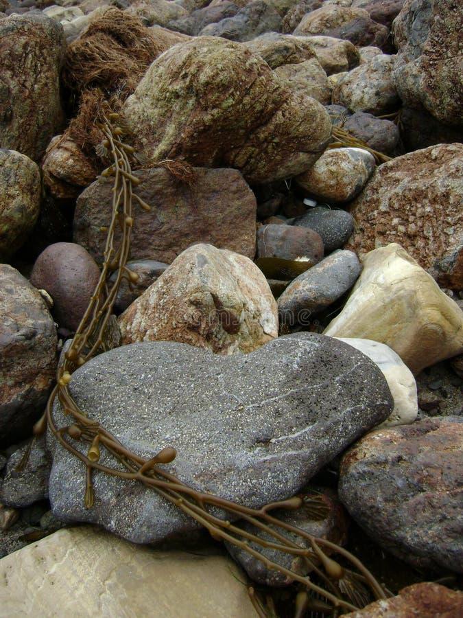 Kelp seaweed winding around beach rocks on seashore stock images