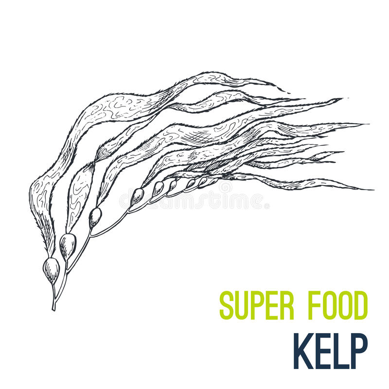 Free Kelp. Super Food Hand Drawn Sketch Vector Royalty Free Stock Photos - 96455128