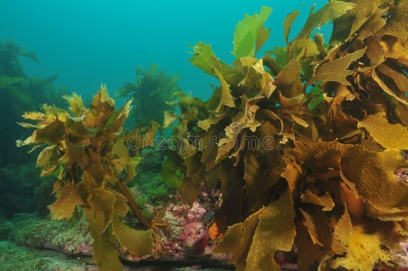 Kelp-Wald stockfotos
