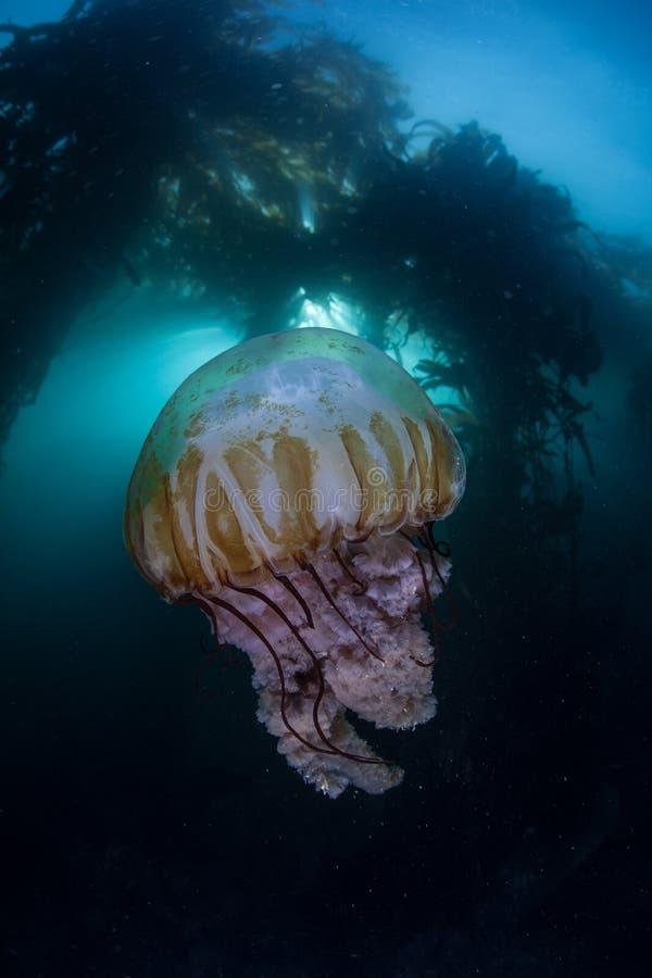 Kelp-Wald und Quallen stockbilder