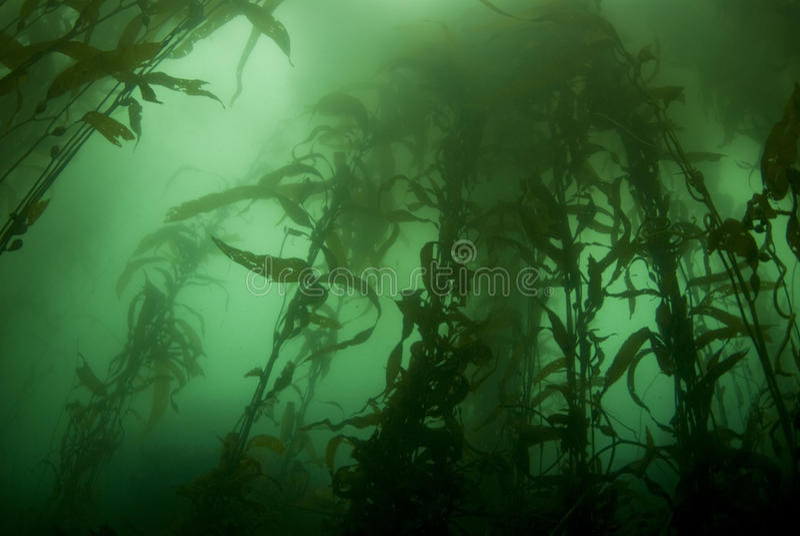 Kelp-Waldlandschaft lizenzfreie stockfotografie