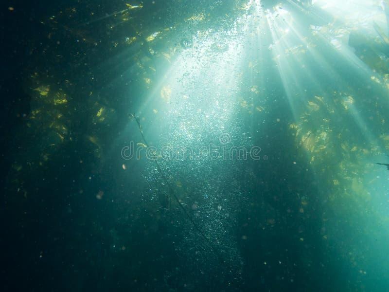 Kelp in Zonlicht stock foto's