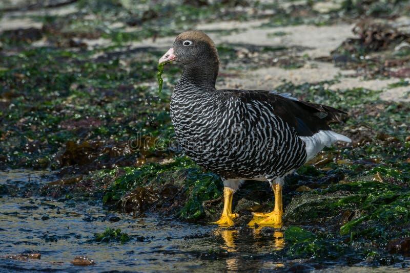 Kelpgans, Nieuw Eiland, Falkland Islands stock afbeelding
