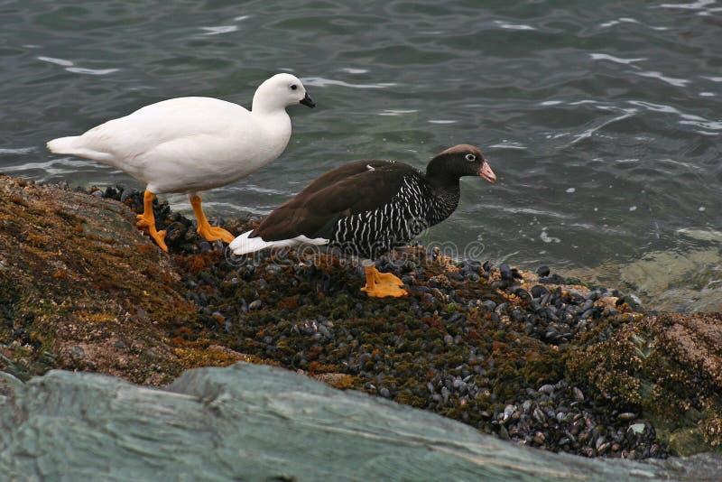 Kelpganspaare, Tierra del Fuego, Argentinien lizenzfreies stockbild