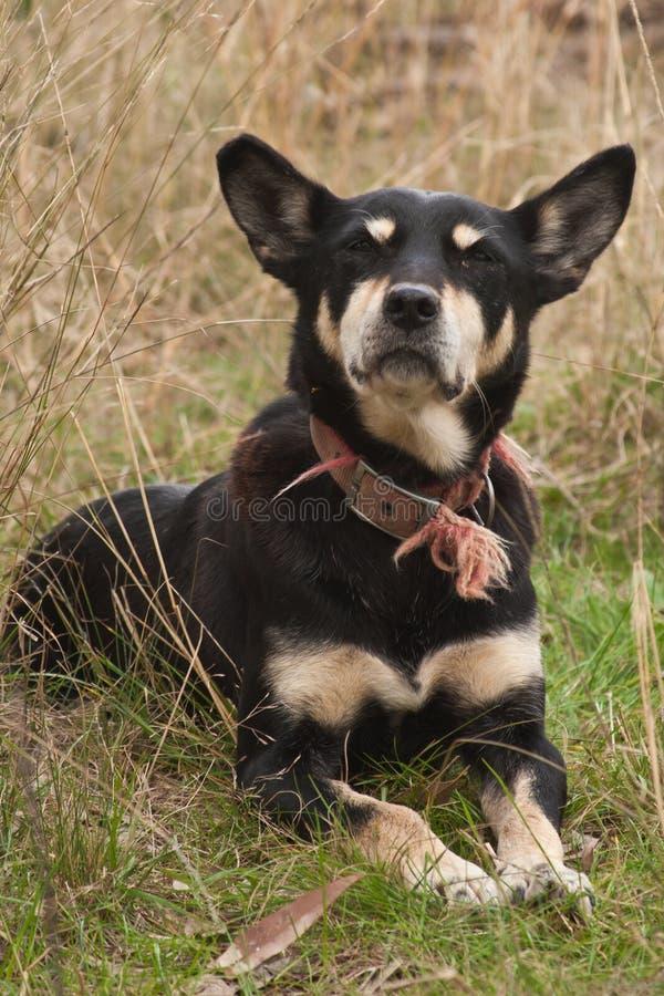 Kelpie de Austraiian fotografia de stock