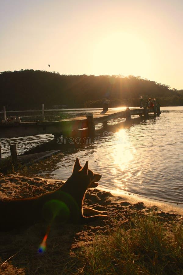 Kelpie de Brown sur la plage regardant fixement dans la distance sous le coucher du soleil photographie stock