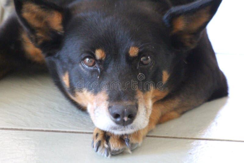 Kelpie-Hund lizenzfreie stockfotos