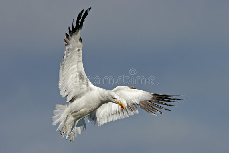 Download Kelpmöve stockfoto. Bild von wild, fliegen, feder, aerial - 858122