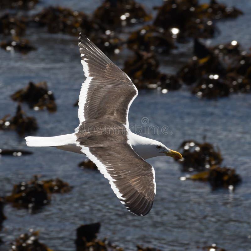Kelpmeeuw die over de Atlantische Oceaan vliegen royalty-vrije stock foto